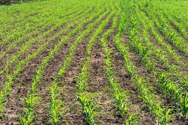 Campi di grano verde