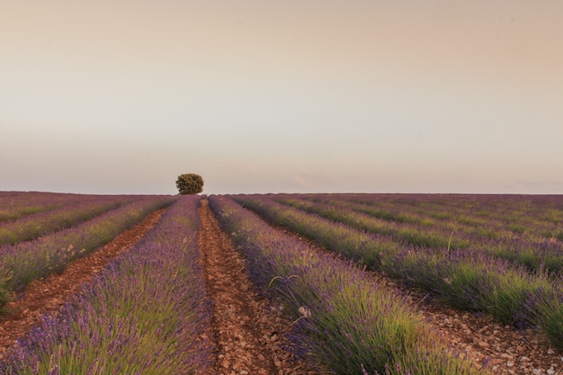 Campi di lavanda con albero in background. concetto di agricoltura