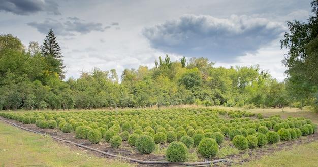 Campi di piantagione con cespuglio di alberi e blu nuvoloso