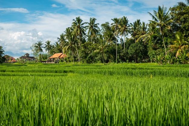 Campi di riso a ubud