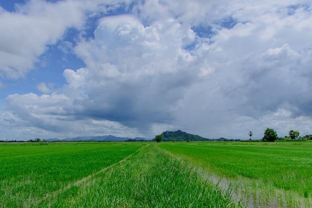 Campi di riso con bel cielo a mezzogiorno