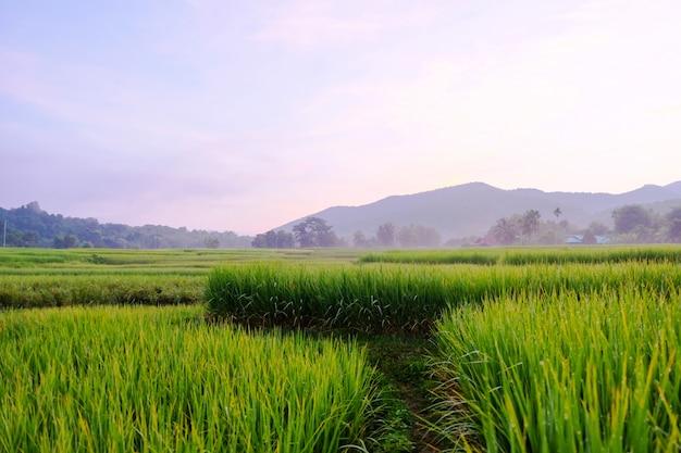 Campi di riso verde nel nord della thailandia affacciato sulla montagna come sfondo.