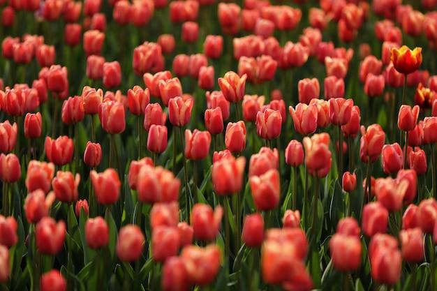 Campi su cui fioriscono i tulipani rosa. campo di tulipani campo con tulipani rosa. mazzo di fiori, rosa.