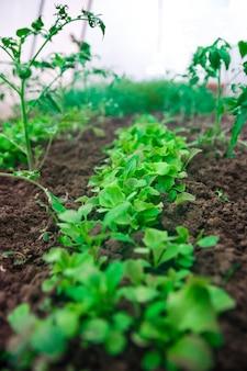 Campo agricolo foglie di insalata verde su letti da giardino. avvicinamento.