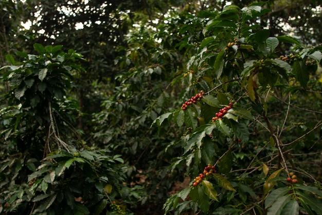 Campo con chicchi di caffè sui rami degli alberi sotto la luce del sole con una parete sfocata in guatemala