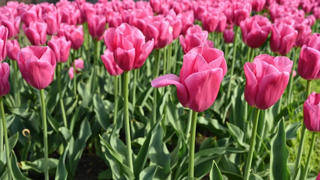 Campo con fioritura di tulipani rosa