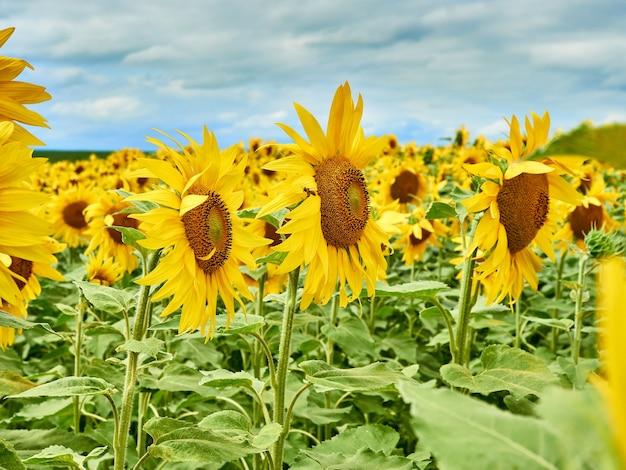Campo con girasoli gialli luminosi, tempo nuvoloso, bellissimo paesaggio estivo.