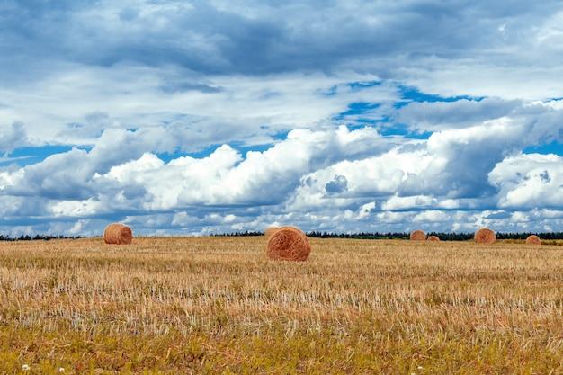 Campo con grano e pile contro il cielo blu con nuvole in una giornata estiva