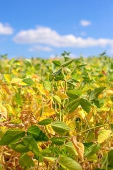 Campo con soia maturata. glicina max, semi di soia, semi di soia in crescita semi di soia in crescita.