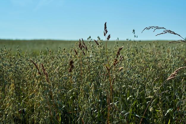 Campo con spighe verdi di avena contro il cielo blu in una giornata di sole, agricoltura