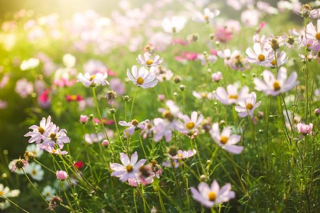 Campo dei fiori rosa e bianchi di estate alla luce solare calda
