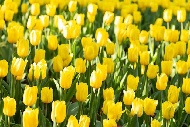 Campo dei tulipani gialli nel giorno di primavera. fiori variopinti dei tulipani nel giardino di fioritura del fiore di primavera.