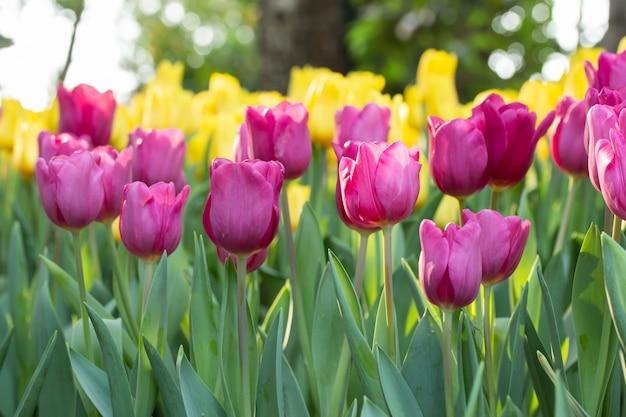 Campo dei tulipani rosa e gialli nel giorno di primavera con sfuocatura naturale. fiori variopinti dei tulipani nel giardino di fioritura del fiore di primavera.