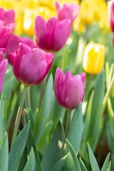 Campo dei tulipani rosa e gialli nel giorno di primavera. fiori variopinti dei tulipani nel giardino di fioritura del fiore di primavera.