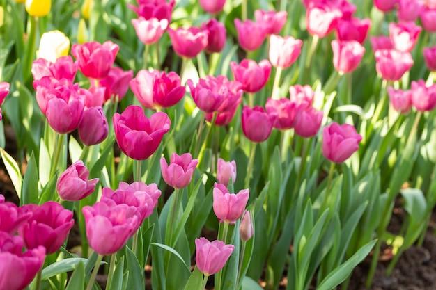 Campo dei tulipani rosa nel giorno di primavera. fiori variopinti dei tulipani nel giardino di fioritura del fiore di primavera.