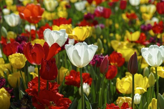 Campo dei tulipani