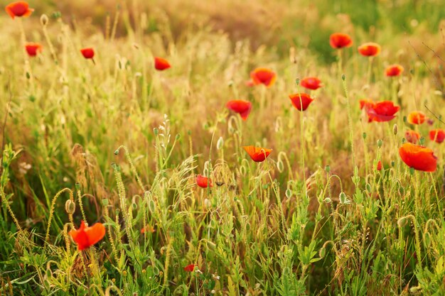 Campo del papavero ucraino, aree ecologiche dell'ucraina