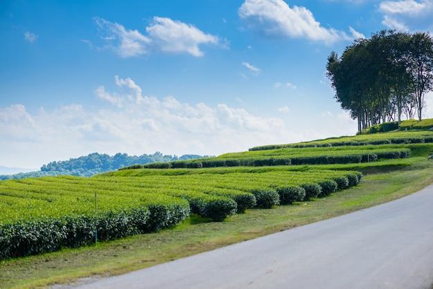 Campo del tè verde con cielo blu