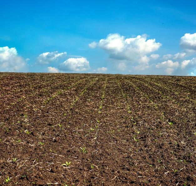 Campo della barbabietola da zucchero in primavera
