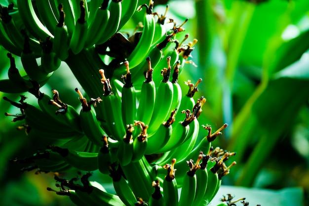 Campo di banane verdi