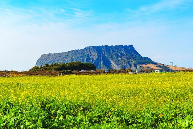 Campo di canola a seongsan ilchulbong, jeju island, corea del sud.