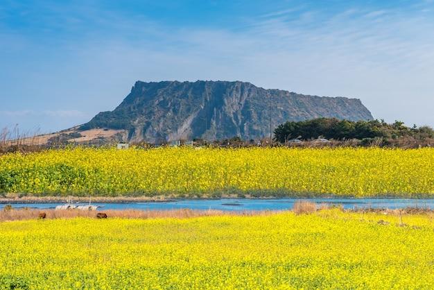 Campo di canola a seongsan ilchulbong, jeju island, corea del sud