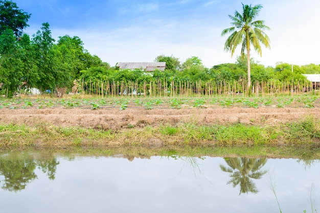 Campo di cetriolo in crescita con sistema di irrigazione a goccia.