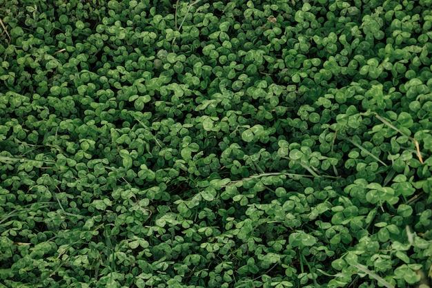 Campo di close-up vista dall'alto di trifogli