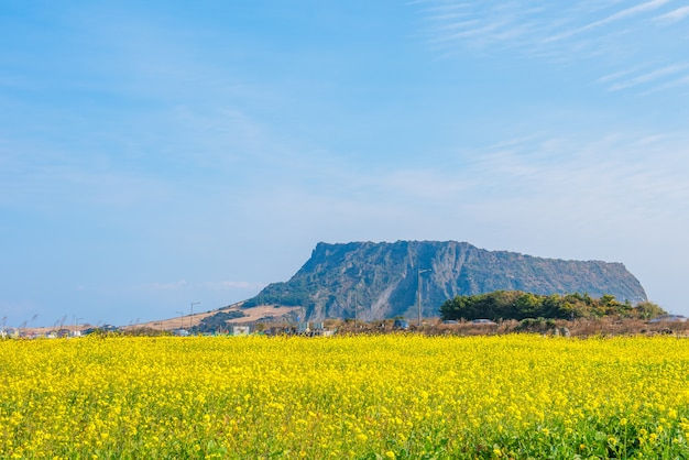 Campo di colza a jeju do seongsan ilchulbong,