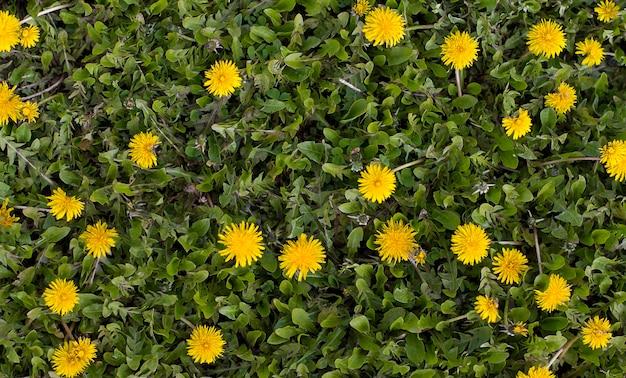 Campo di denti di leone. fiori primaverili gialli