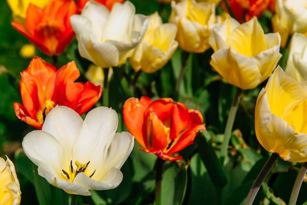 Campo di fiori con tulipani colorati. parco keukenhof. olanda
