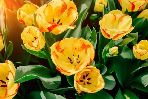 Campo di fiori con tulipani colorati.