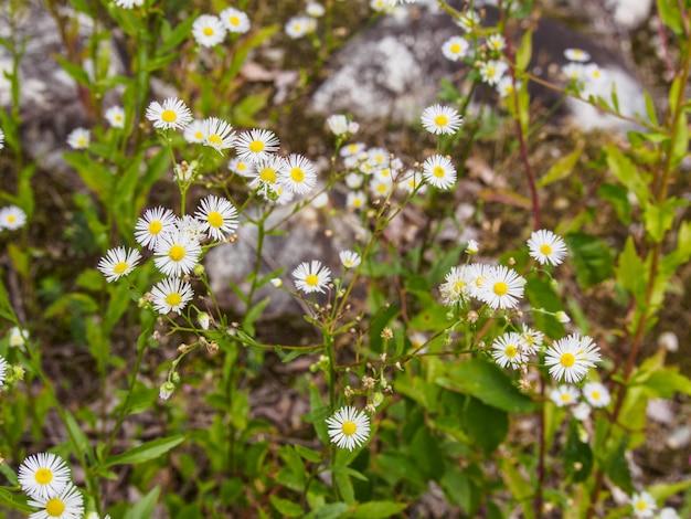 Campo di fiori di erba bianca