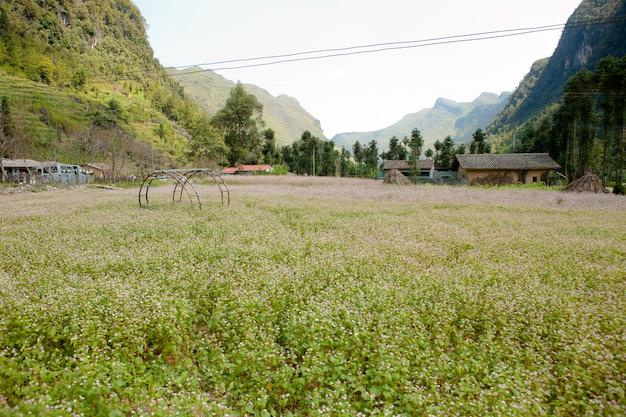 Campo di fiori di grano saraceno a ha giang, vietnam. ha giang è famoso per il parco geologico globale dell'altopiano carsico di dong van.