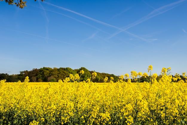 Campo di fioritura del seme di ravizzone giallo