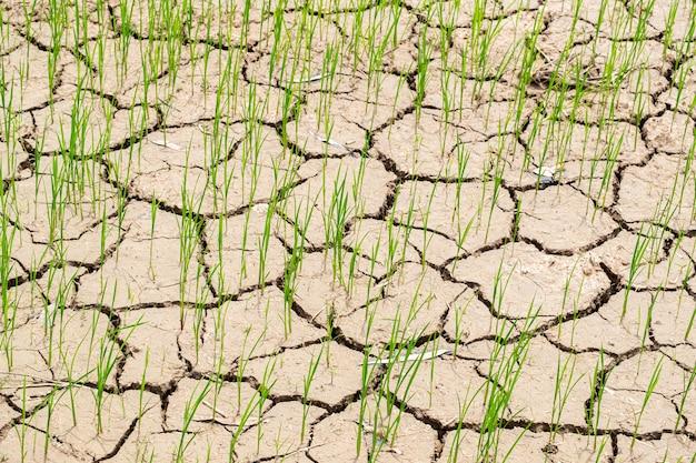 Campo di giovani risi che cresce in terra asciutta o fango piatto