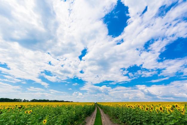 Campo di girasoli con la strada. cielo blu.