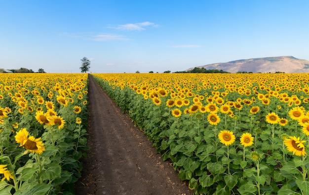 Campo di girasoli fioriti con moutain e cielo blu