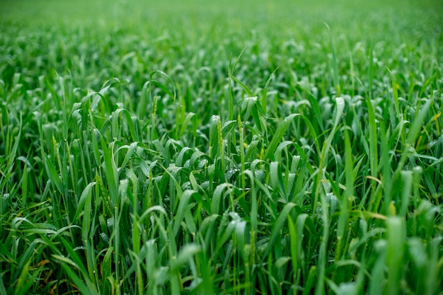 Campo di grano, campo di grano verde dopo la pioggia