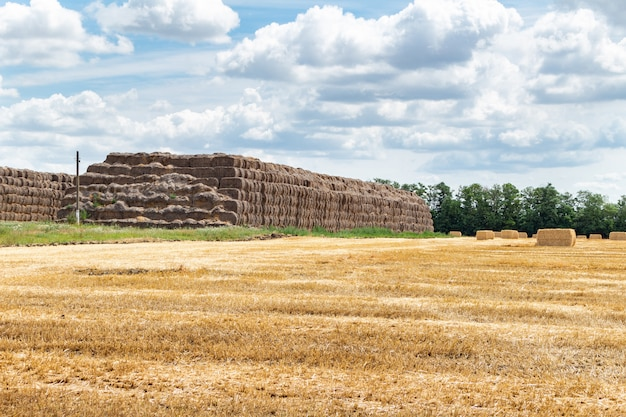 Campo di grano di segale di grano raccolto di cereali, orzo, con balle di fieno pagliaio picchetti forma rettangolare cubica