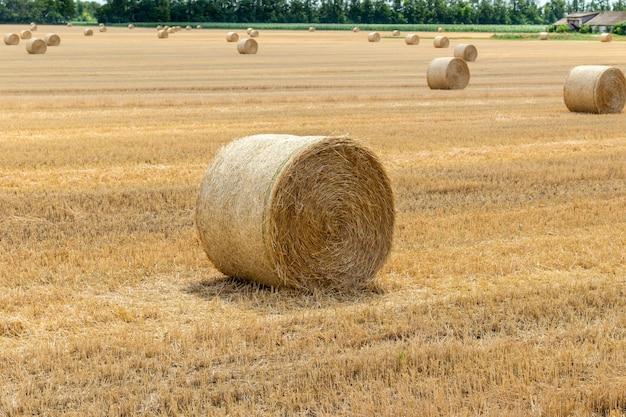 Campo di grano di segale di orzo da grano raccolto, con balle di paglia pagliai a paletti di forma rotonda