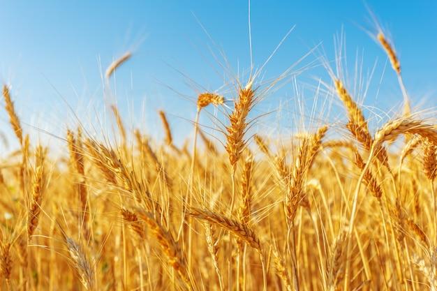 Campo di grano dorato e giornata di sole