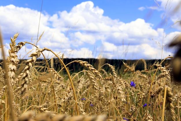 Campo di grano dorato sotto il cielo blu e le nuvole