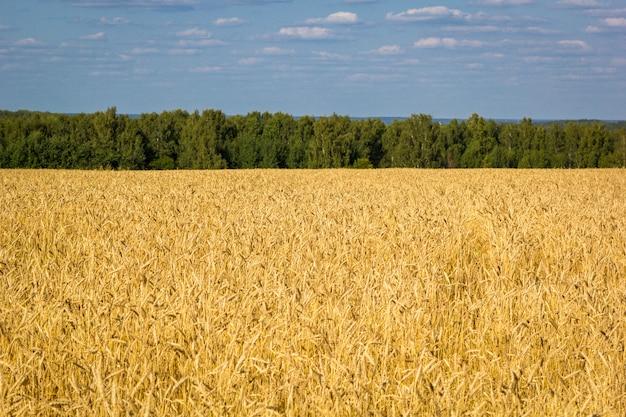 Campo di grano maturo con spighette d'oro e striscia di foresta sulla linea dell'orizzonte