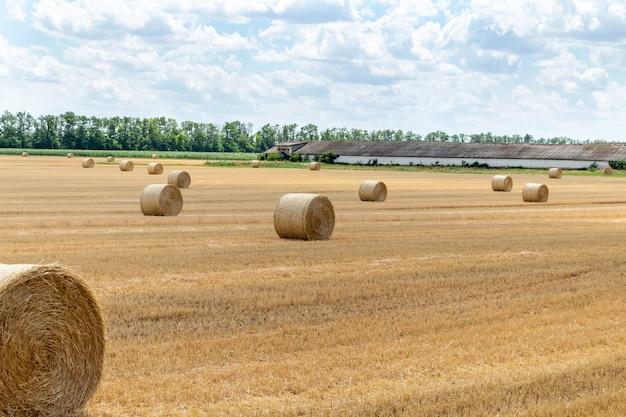 Campo di grano raccolto dell'orzo del grano del cereale raccolto, con le balle di paglia dei pagliai puntate sul cielo blu nuvoloso. agricoltura, economia rurale, concetto di agronomia