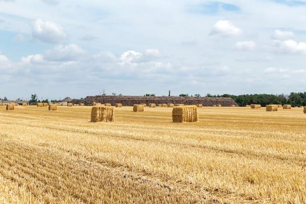 Campo di grano raccolto della segale dell'orzo del grano del cereale del grano, con i mucchi di fieno sui precedenti nuvolosi del cielo blu. agricoltura agricoltura economia agronomia concetto.