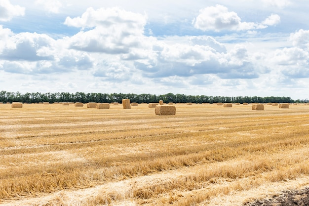 Campo di grano raccolto della segale dell'orzo del grano del cereale del grano, con le balle di paglia dei mucchi di fieno puntate sul cielo blu nuvoloso. agricoltura agricoltura economia rurale concetto di agronomia