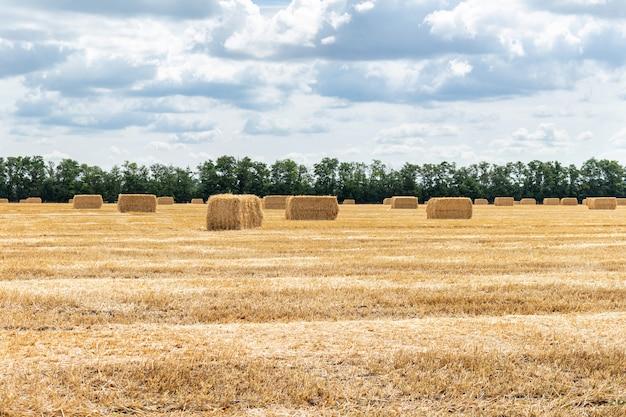 Campo di grano raccolto della segale dell'orzo del grano del cereale del grano.