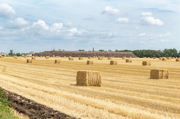 Campo di grano raccolto di grano di orzo grano di grano raccolto, con balle di paglia pagliai pali forma rettangolare cubica sullo sfondo nuvoloso cielo blu. agricoltura che coltiva concetto di agronomia di economia rurale