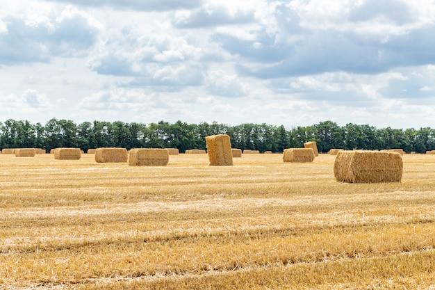 Campo di grano raccolto di grano di orzo grano di segale, con covoni di fieno balle di paglia pali di forma rettangolare cubica sul cielo nuvoloso blu, agricoltura agricola economia rurale concetto di agronomia